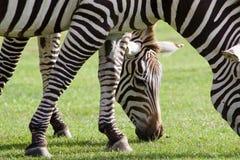 与两匹斑马的美好的图片 免版税库存图片