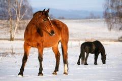 与两匹马的农村场面在雪在冬日 库存照片
