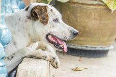 与两只不同色的眼睛的狗与拷贝空间 库存照片