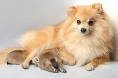 与两只吃牛奶小狗的妈妈波美丝毛狗 库存图片