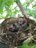 与两只小鸡的鸟巢 免版税库存图片