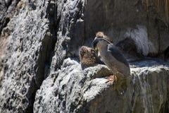 与两只小鸡的黑被加冠的夜鹭属 库存照片