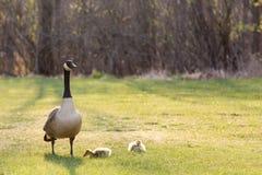 与两只小鹅的由后面照的加拿大鹅 免版税图库摄影