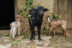 与两只幼小山羊的小牛 免版税库存照片