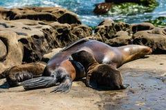 与两只护理的小狗的睡觉母加利福尼亚海狮 库存照片