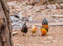 与两只母鸡的大科钦雄鸡 免版税库存照片
