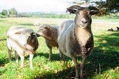 与两只羊羔的一只绵羊 免版税库存照片