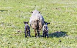 与两只羊羔的母羊在牧场地 库存照片