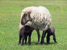 与两只羊羔的萨福克绵羊 免版税库存图片