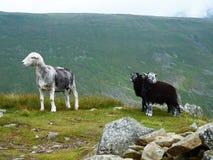与两只羊羔的绵羊在湖区 库存照片