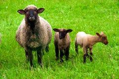 与两只羊羔的绵羊 库存图片