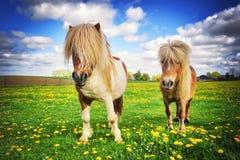 与两只舍特兰群岛小马的国家风景 免版税库存照片