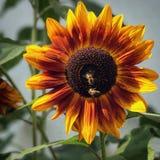 与两只蜂的一个向日葵 库存图片
