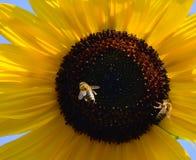 与两只蜂的向日葵 背景自然夏天 免版税库存图片