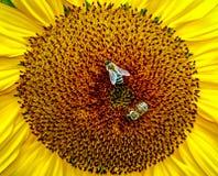 与两只蜂的向日葵 库存照片