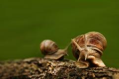 与两只蜗牛的背景在木头 免版税库存图片