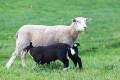 与两只饮用的黑羊羔的白色母亲绵羊 免版税图库摄影