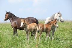 与两只驹的两匹母马 库存照片