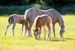 与两只驹的母马在领域 免版税库存照片