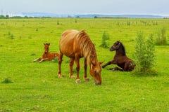 与两只驹的马在草甸 免版税库存照片