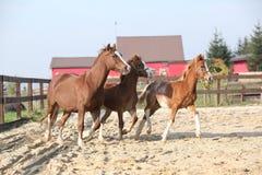 与两只驹跑的母马 免版税库存图片