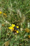 与两只黑甲虫和蜗牛的狂放的菊花 图库摄影