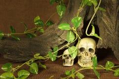 与两块头骨的静物画 免版税库存照片