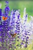 与两小明亮的橙色蝴蝶蓝色的自然本底坐紫色花在一个农村草甸的夏天好日子 库存照片