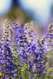 与两小明亮的蓝色蝴蝶蓝色的背景坐紫色花在一个农村草甸的夏天好日子 库存照片