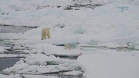 与两崽的北极熊 股票视频