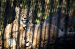 与两崽的母天猫座在酒吧后在动物园里 免版税库存照片