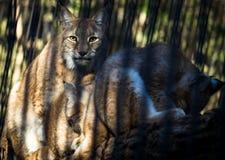 与两崽的母天猫座在酒吧后在动物园里 库存图片