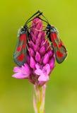 与两昆虫的狂放的桃红色兰花 金字塔形兰花, Anacamptis pyramidalis,开花的欧洲地球野生兰花,自然hab 免版税库存图片