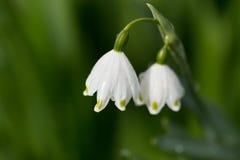 与两朵花的Snowdrop词根在模糊的背景 图库摄影
