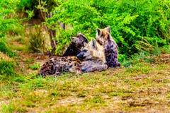 与两条幼小鬣狗的母亲鬣狗在克留格尔国家公园 免版税库存照片