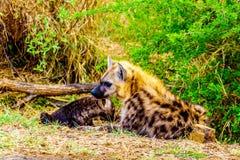 与两条幼小鬣狗的母亲鬣狗在克留格尔国家公园 免版税图库摄影