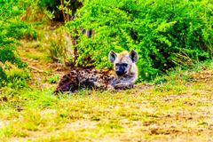 与两条幼小鬣狗的母亲鬣狗在克留格尔国家公园 免版税库存图片