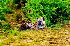 与两条幼小鬣狗的母亲鬣狗在克留格尔国家公园 库存图片