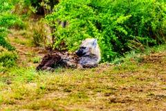 与两条幼小鬣狗的母亲鬣狗在克留格尔国家公园 库存照片