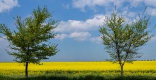 与两棵树和多云天空的油菜籽领域 免版税库存图片
