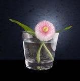 与两片绿色叶子的桃红色雏菊在杯水 库存照片