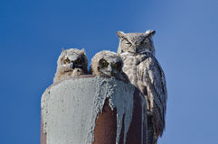 与两猫头鹰之子的大角枭巢 免版税库存照片