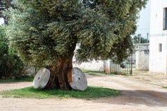 与两磨石的古老橄榄树 免版税库存照片