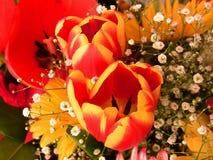 与两种颜色的两朵郁金香花 免版税库存图片