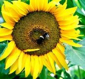 与两花蜜收集的土蜂的向日葵花 免版税库存照片