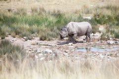 与两颗象牙的犀牛在埃托沙国家公园,纳米比亚关闭,徒步旅行队在旱季的非洲南部 图库摄影