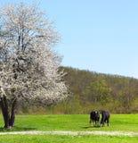 与两头母牛的唯一开花的偏僻的树临近它 免版税图库摄影