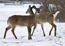 与两头野生鹿的美好的被隔绝的背景在多雪的领域 库存照片