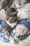 与严密的神色的一只幼小逗人喜爱的三色猫是重要o 免版税库存照片