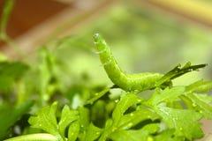 与举它的头的一条尾巴的蝴蝶毛虫和在绿色湿新鲜的莴苣草,模糊和s有休息并且仍然停留 免版税库存照片